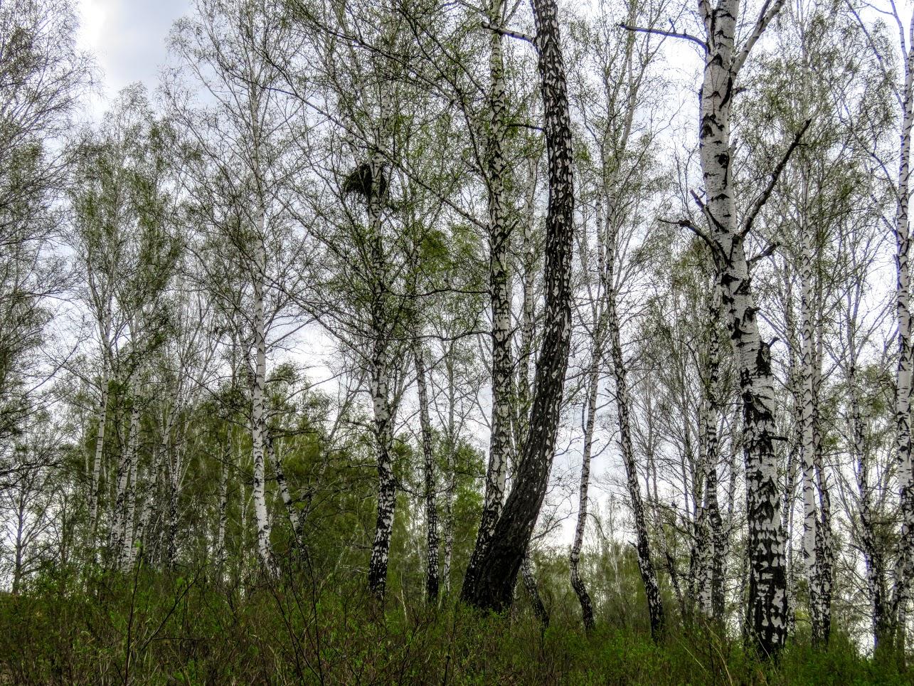 Фотоохота на чёрных коршунов. Рыжие котики и мороженое Сибирские голубые ели) IMG 0105