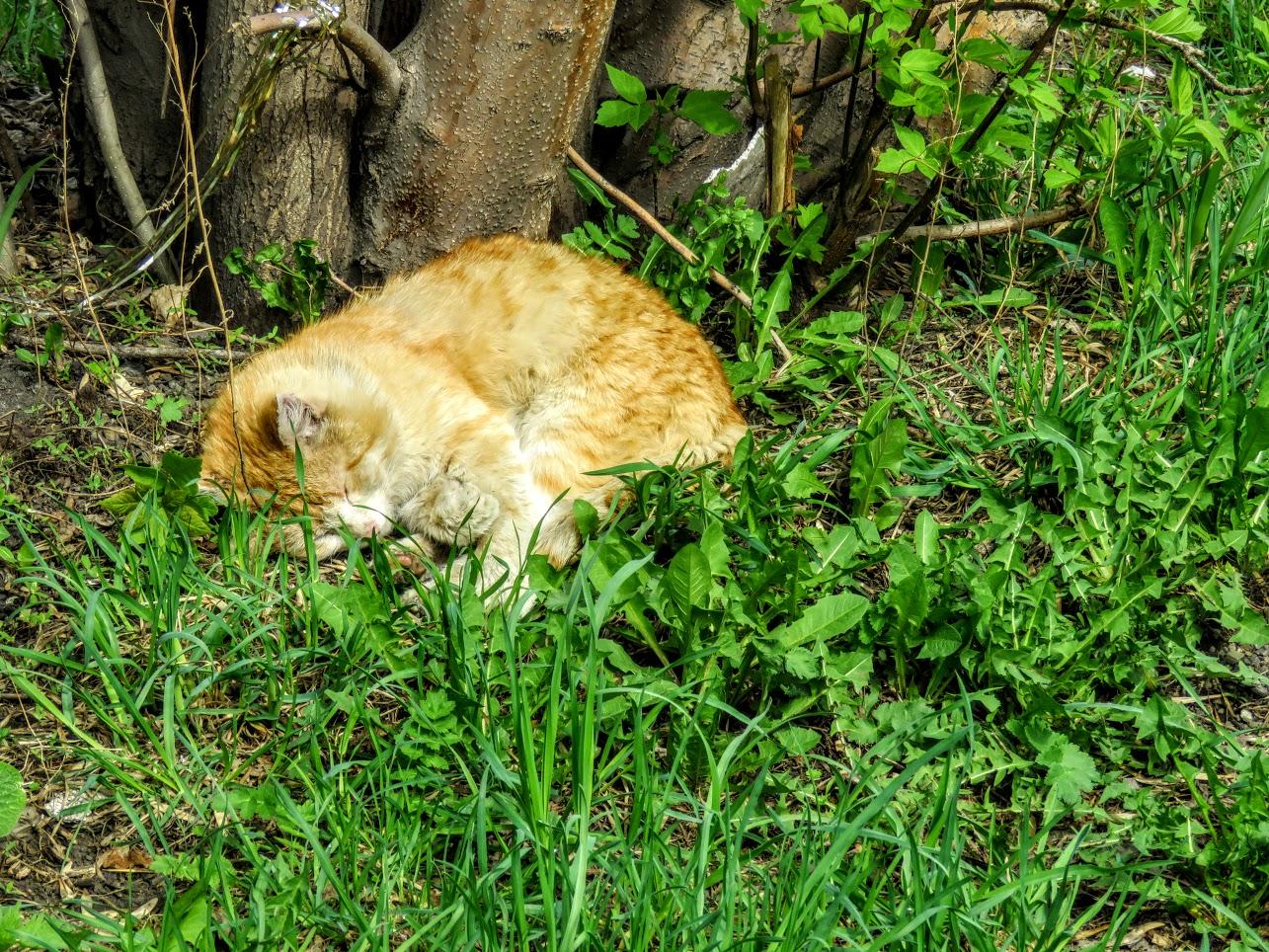 Фотоохота на чёрных коршунов. Рыжие котики и мороженое Сибирские голубые ели) IMG 9908