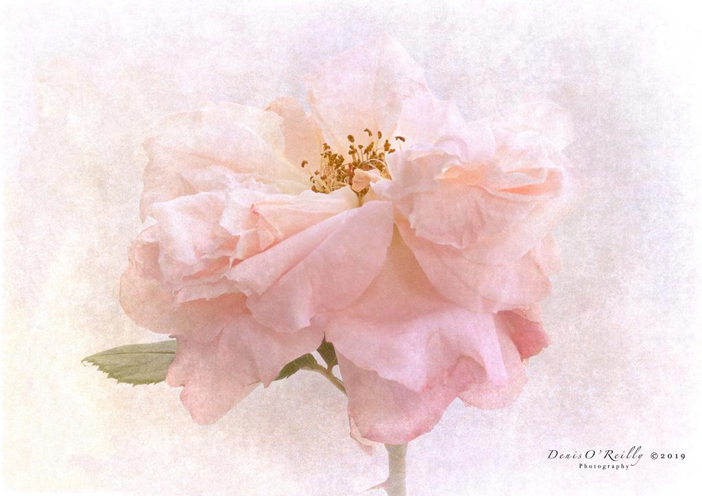 Rosa-Rachel.jpg