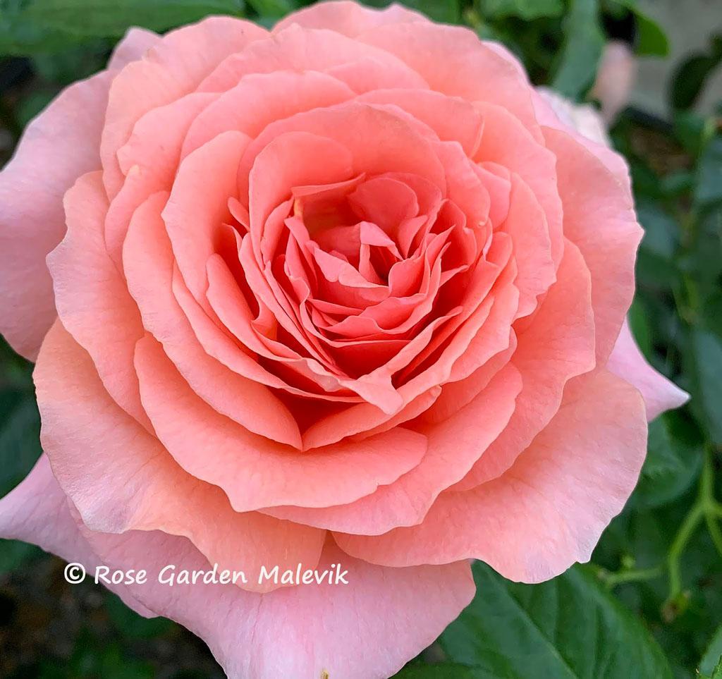 Amour-de-Morlene-rose.jpg