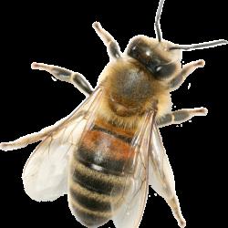 Honey_040_Bees---KOPIY-8.th.png