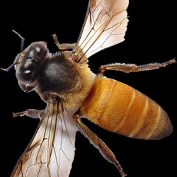 Honey_040_Bees.th.png