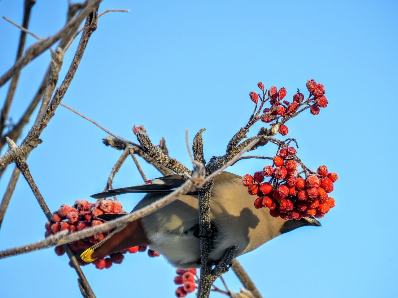 Свиристели и мёрзлая ягода. Видео их, замедленная съёмка) IMG 1692