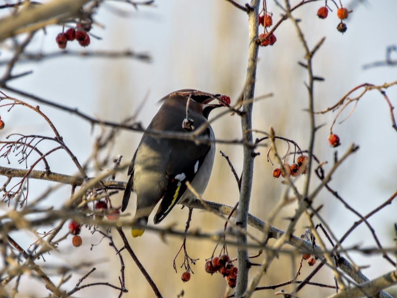 Свиристели и мёрзлая ягода. Видео их, замедленная съёмка) IMG 1723