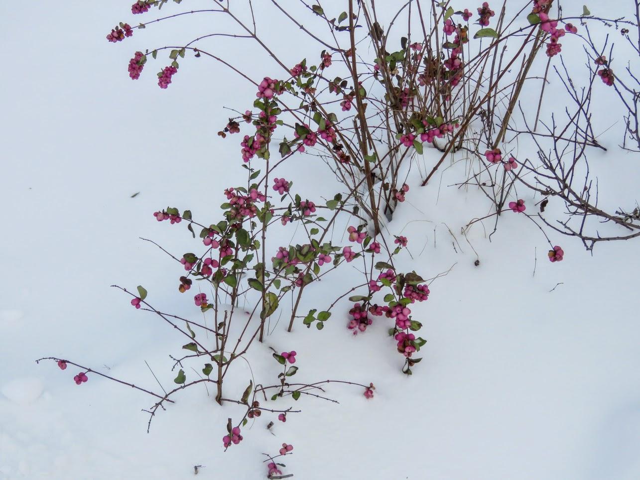 Розовый снежноягодник, снегири и другие прелести дня. Мой Мурыч с утра) IMG 2520