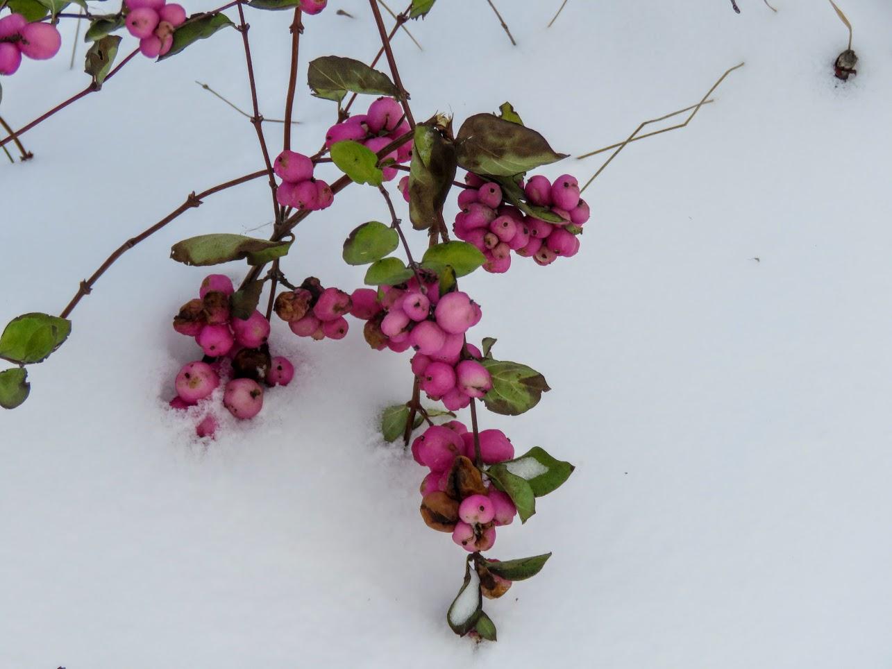 Розовый снежноягодник, снегири и другие прелести дня. Мой Мурыч с утра) IMG 2522