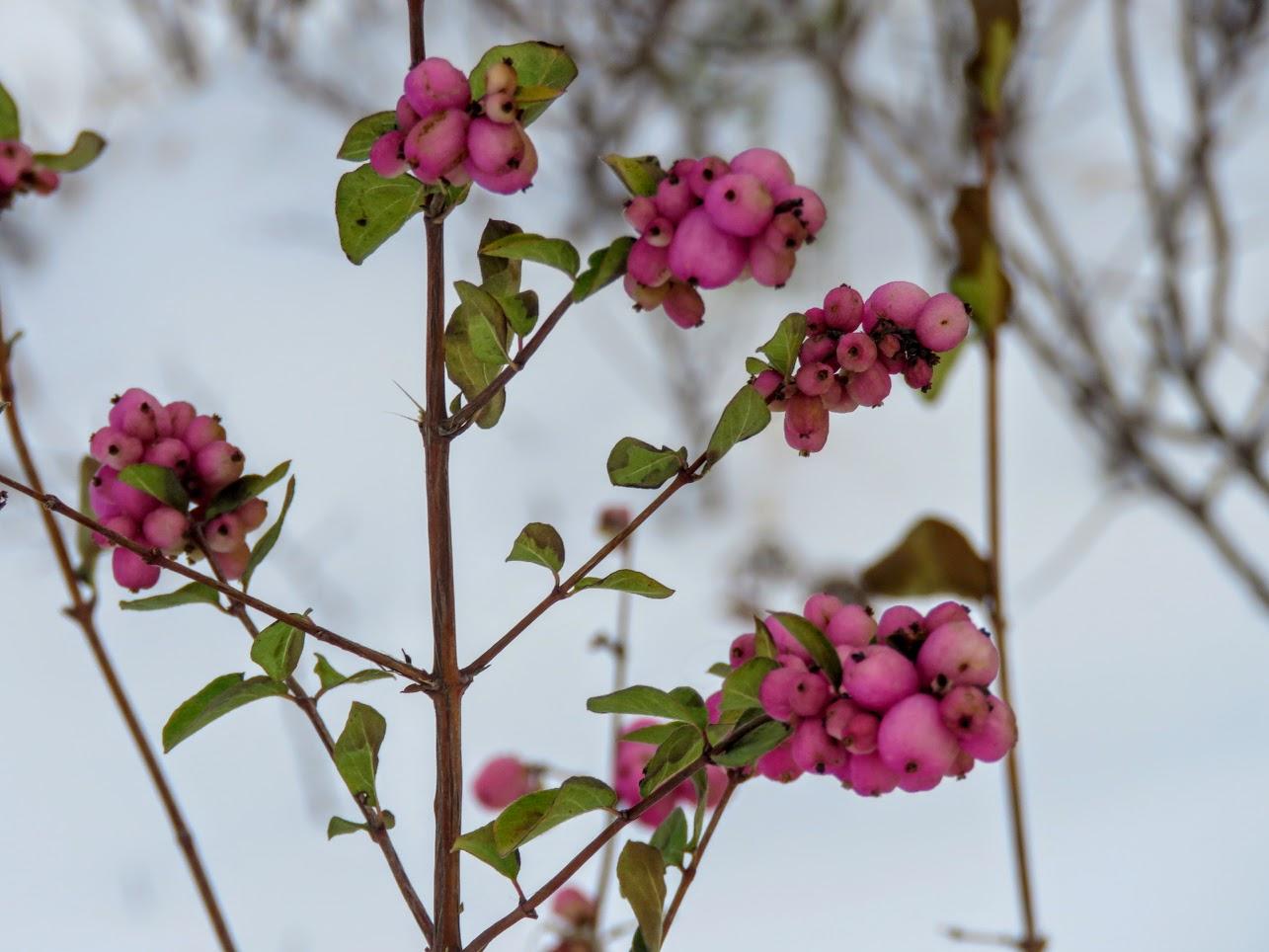 Розовый снежноягодник, снегири и другие прелести дня. Мой Мурыч с утра) IMG 2523