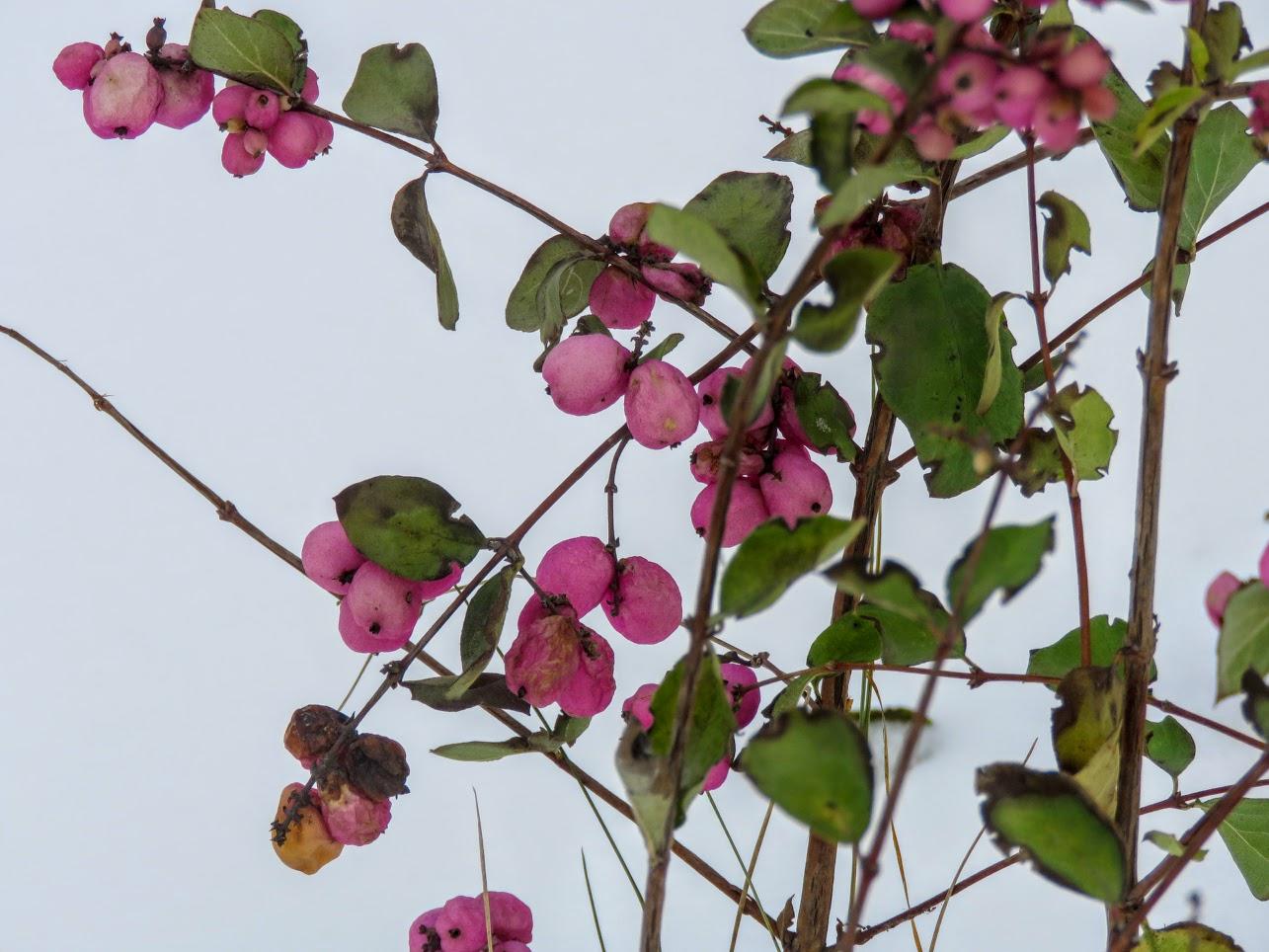 Розовый снежноягодник, снегири и другие прелести дня. Мой Мурыч с утра) IMG 2525