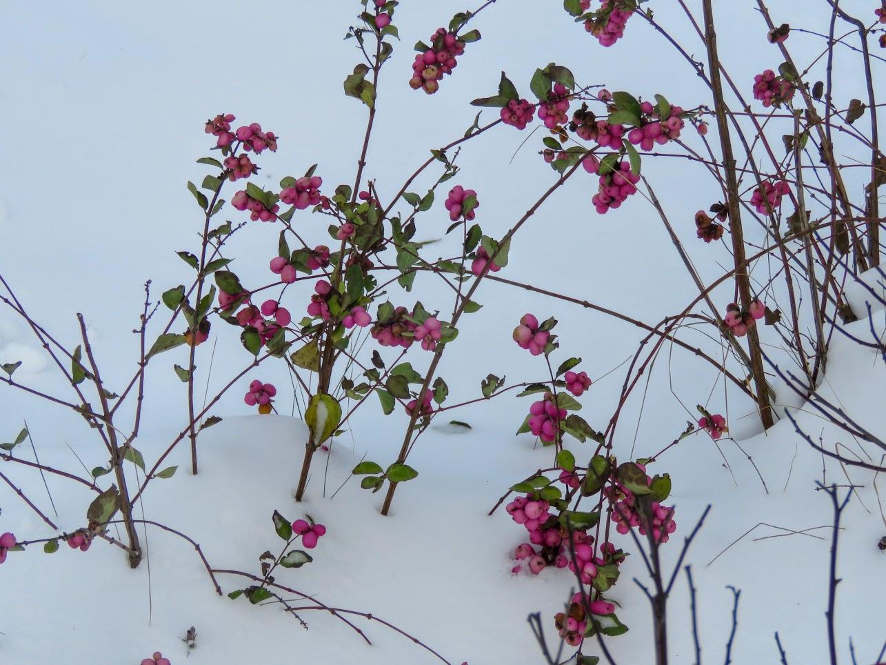 Розовый снежноягодник, снегири и другие прелести дня. Мой Мурыч с утра) IMG 2527
