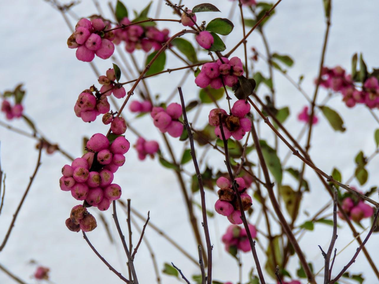 Розовый снежноягодник, снегири и другие прелести дня. Мой Мурыч с утра) IMG 2530