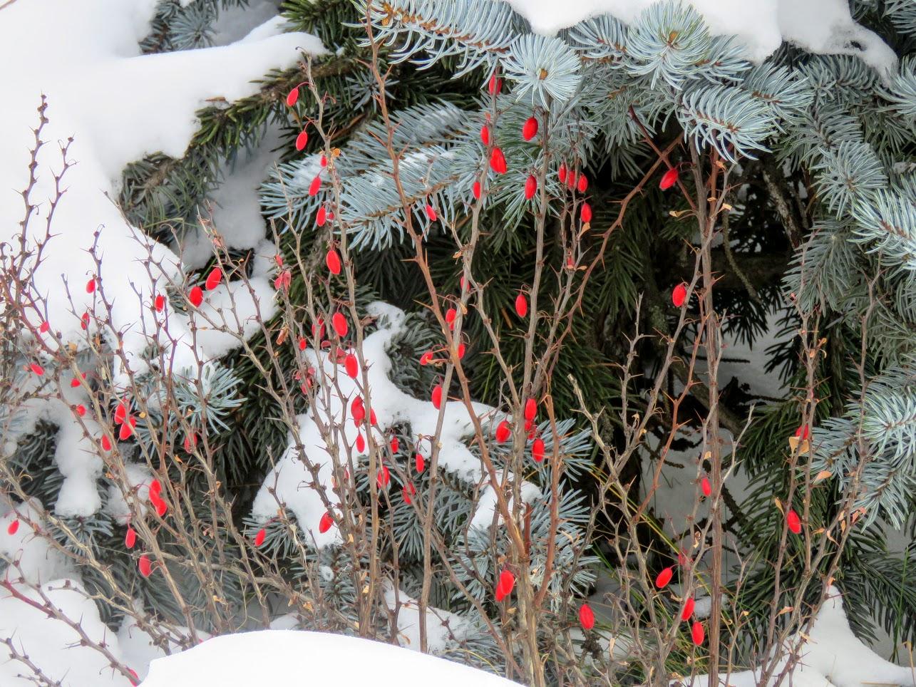 Розовый снежноягодник, снегири и другие прелести дня. Мой Мурыч с утра) IMG 2531