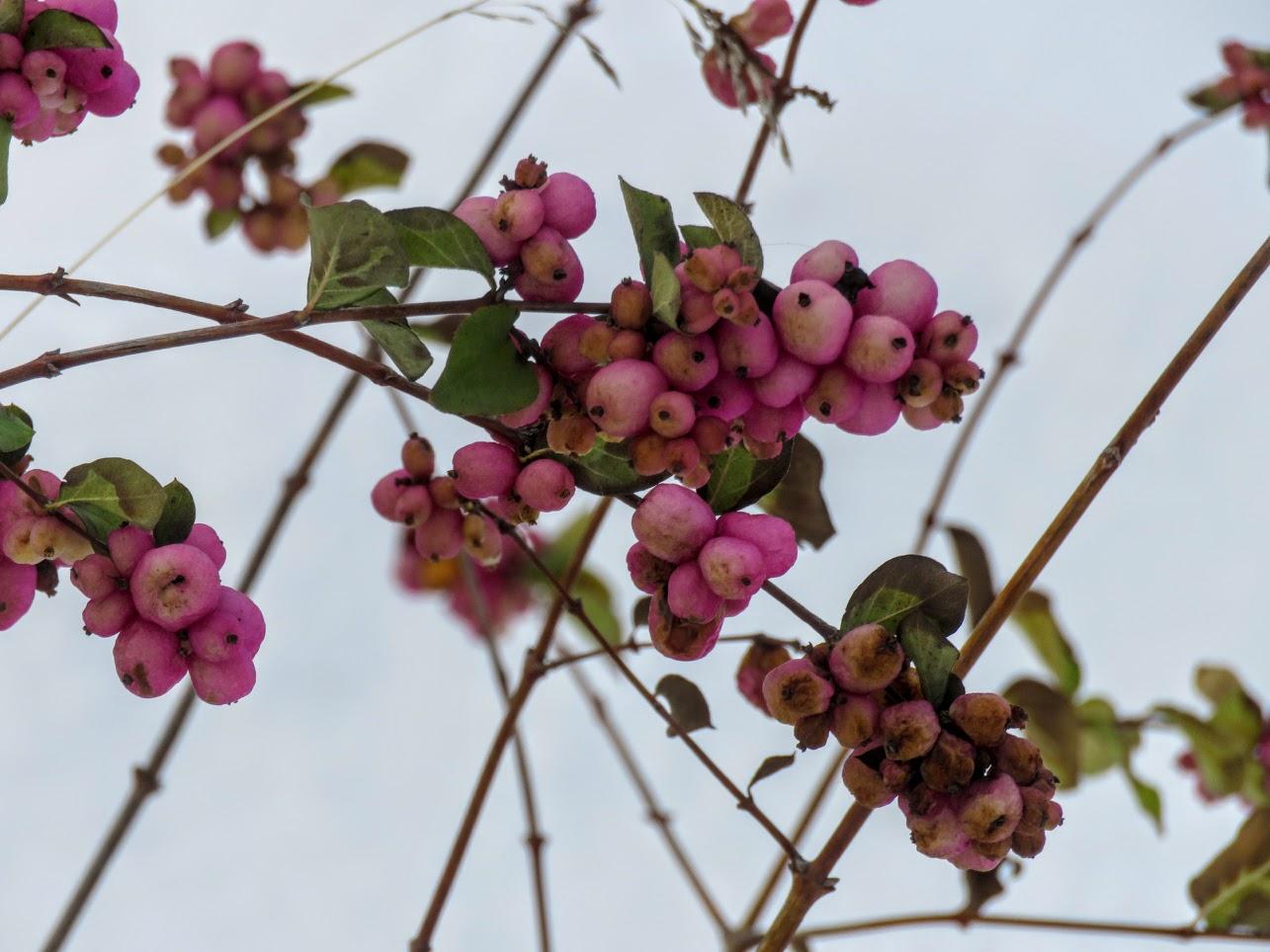 Розовый снежноягодник, снегири и другие прелести дня. Мой Мурыч с утра) IMG 2532