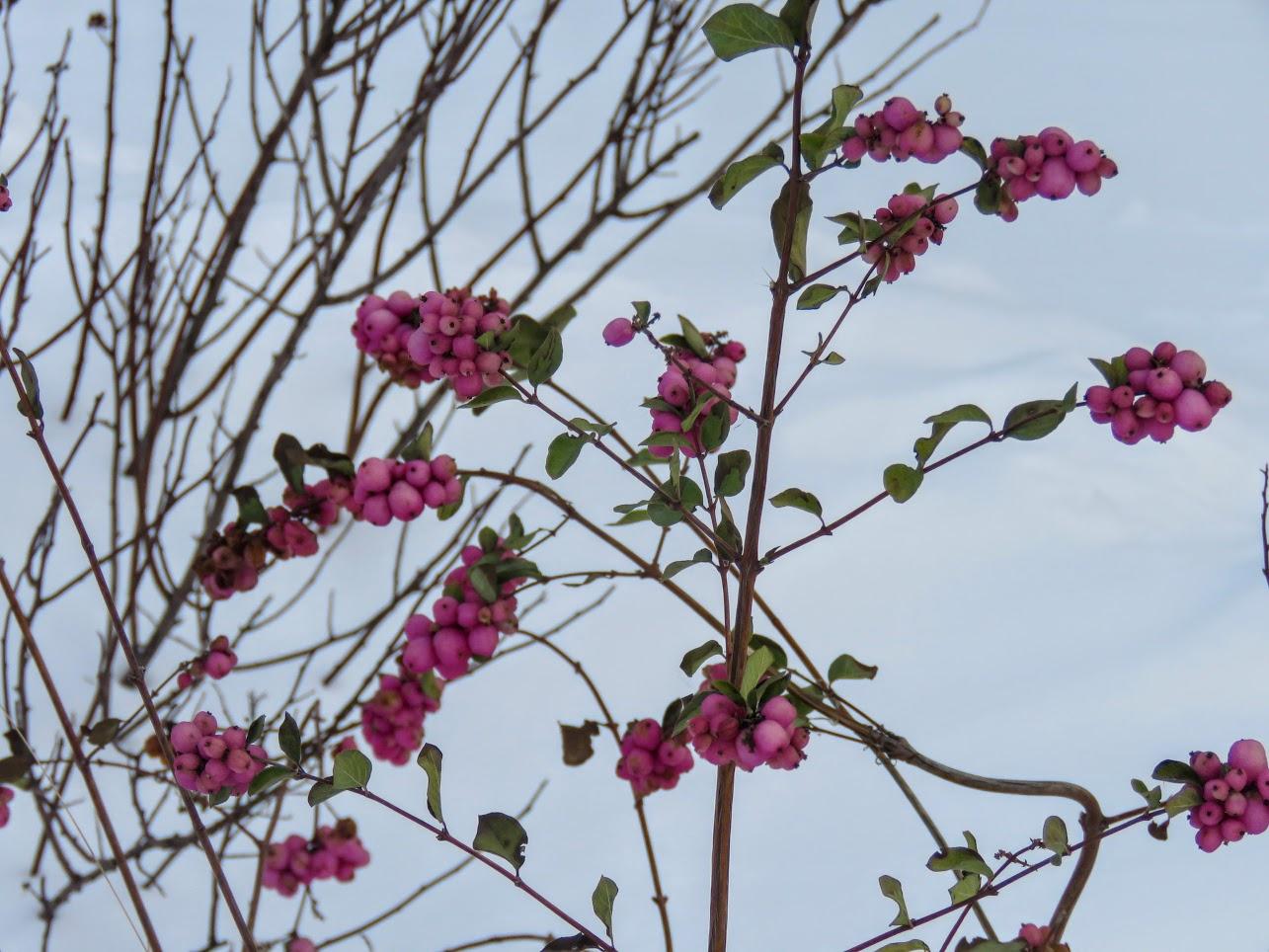 Розовый снежноягодник, снегири и другие прелести дня. Мой Мурыч с утра) IMG 2533