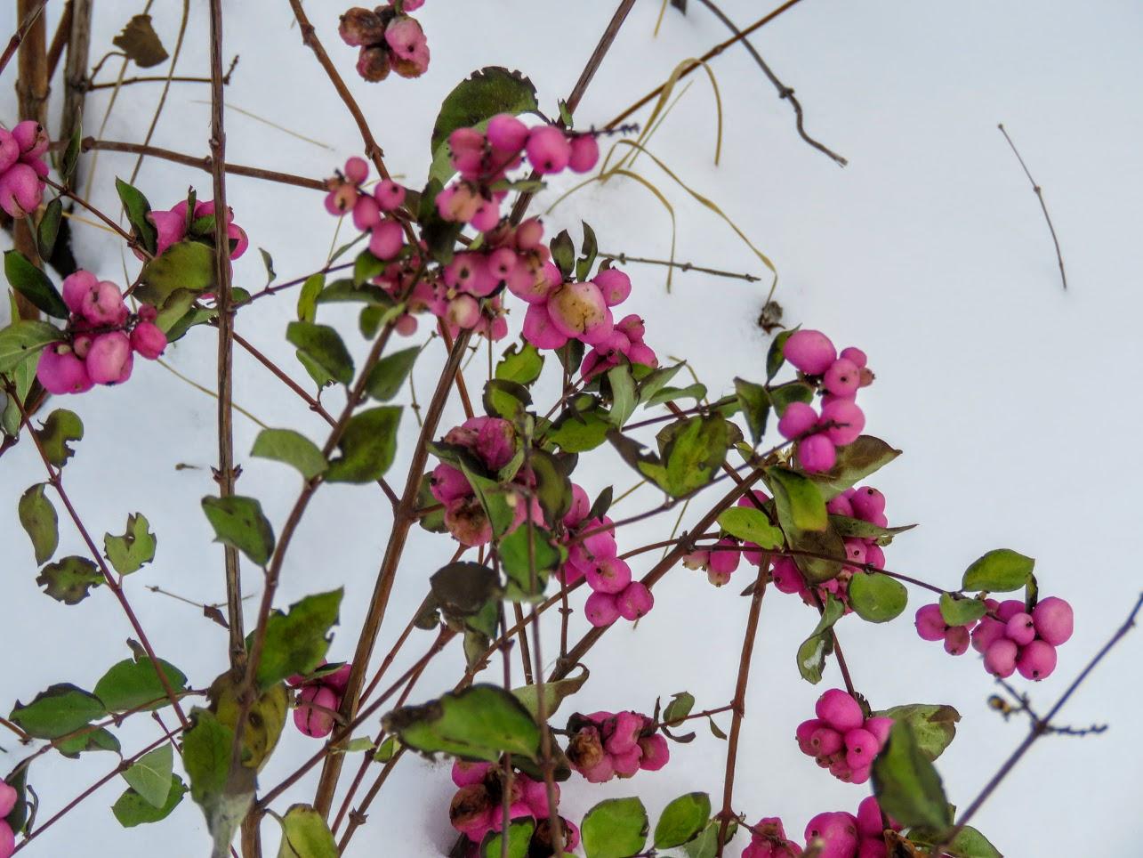 Розовый снежноягодник, снегири и другие прелести дня. Мой Мурыч с утра) IMG 2534