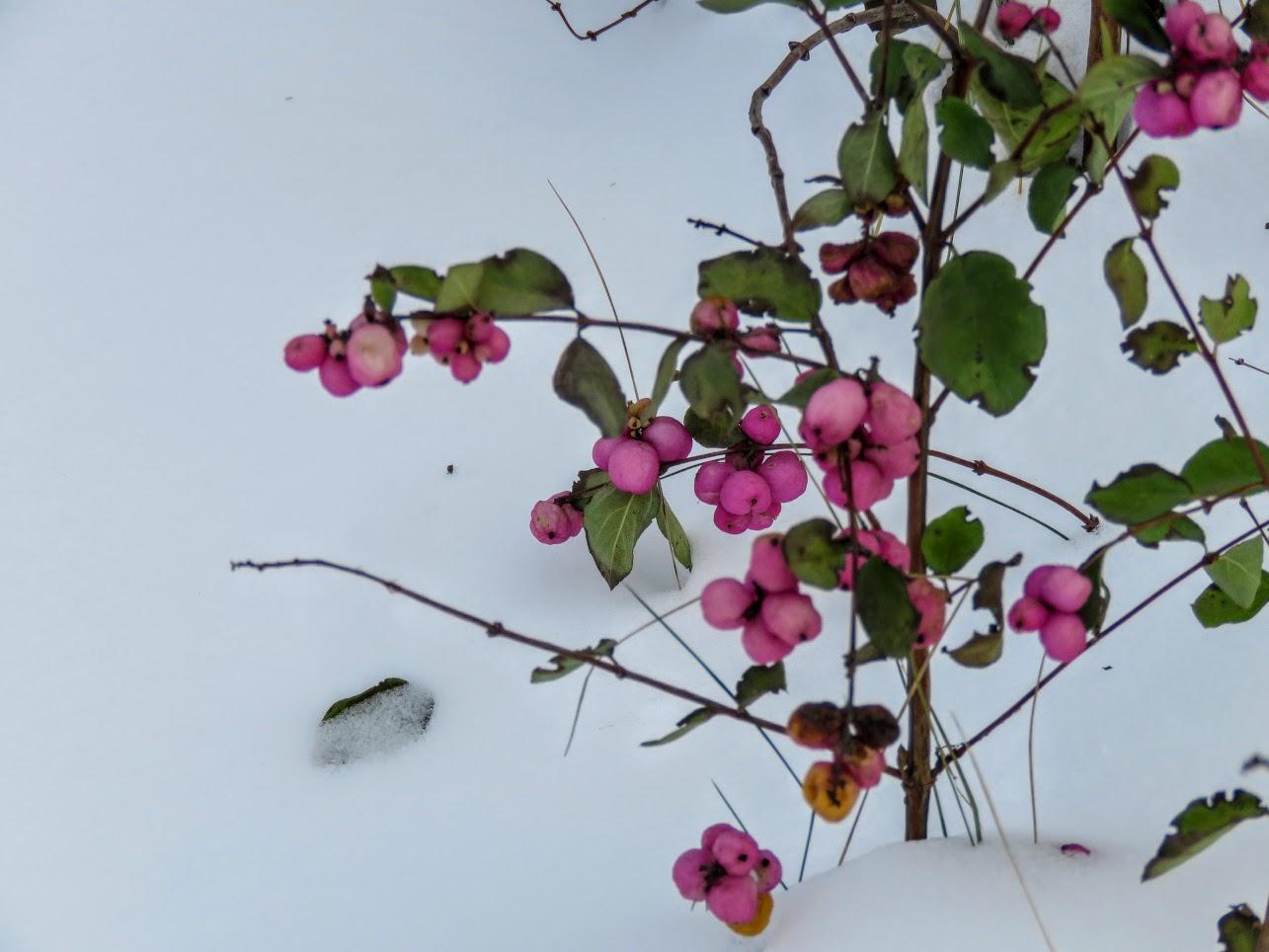 Розовый снежноягодник, снегири и другие прелести дня. Мой Мурыч с утра) IMG 2535