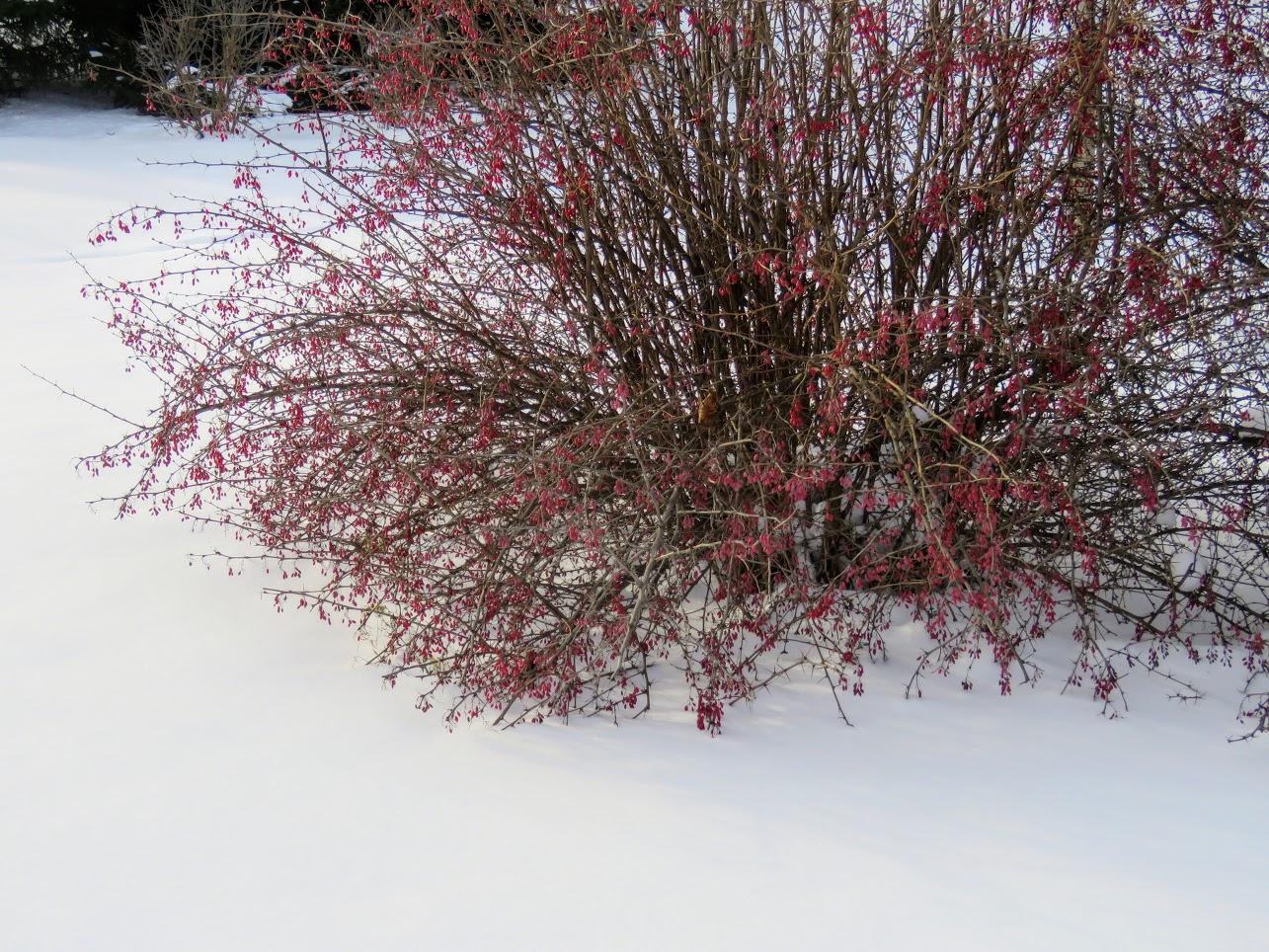 Розовый снежноягодник, снегири и другие прелести дня. Мой Мурыч с утра) IMG 2571