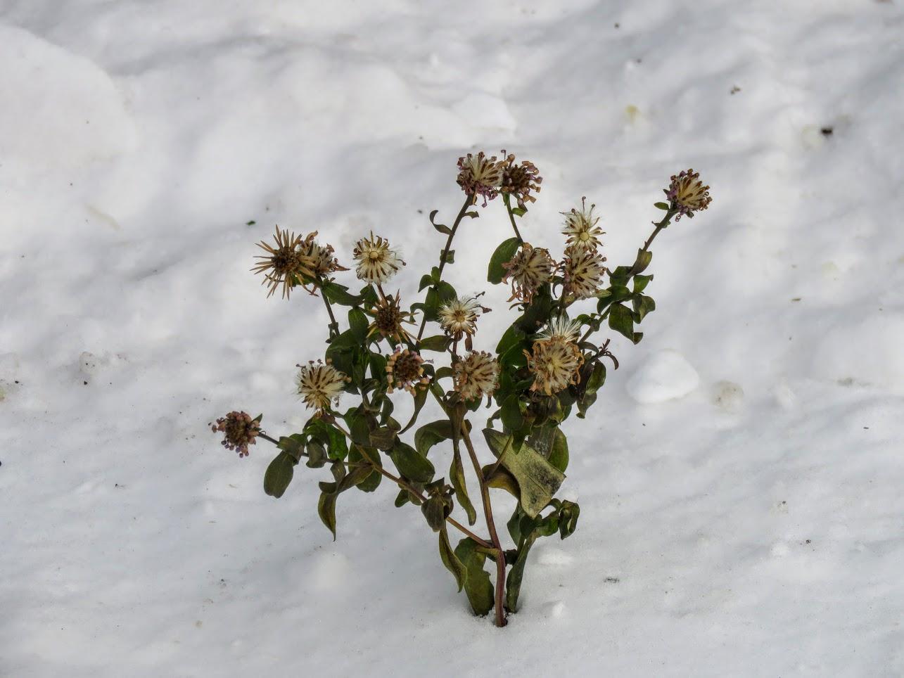 Розовый снежноягодник, снегири и другие прелести дня. Мой Мурыч с утра) IMG 2606