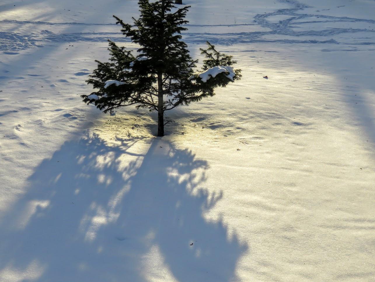 Розовый снежноягодник, снегири и другие прелести дня. Мой Мурыч с утра) IMG 2683