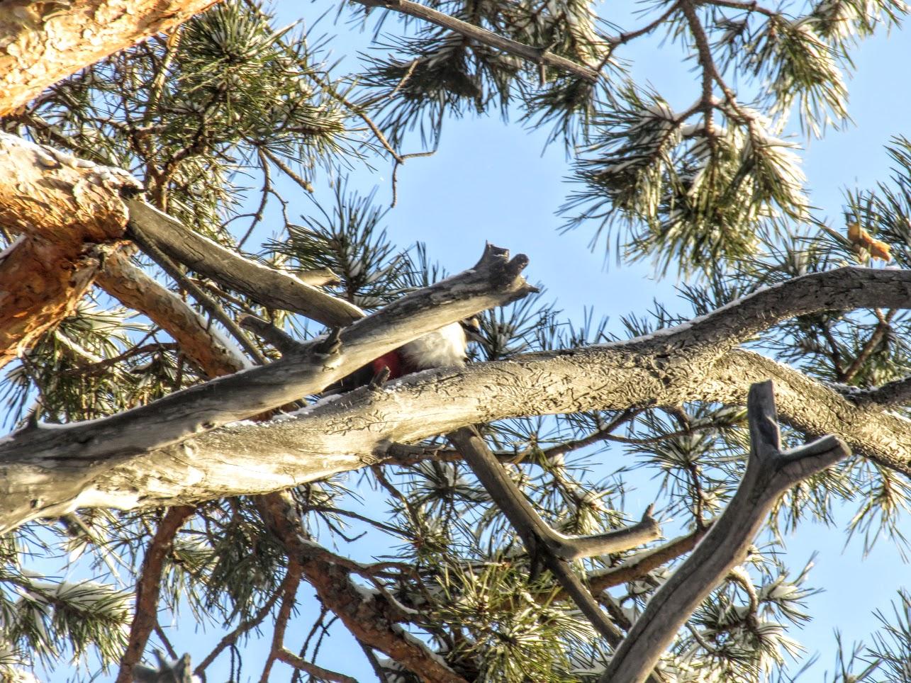 Птички - невелички - ополовники и большой пёстрый дятел IMG 9684