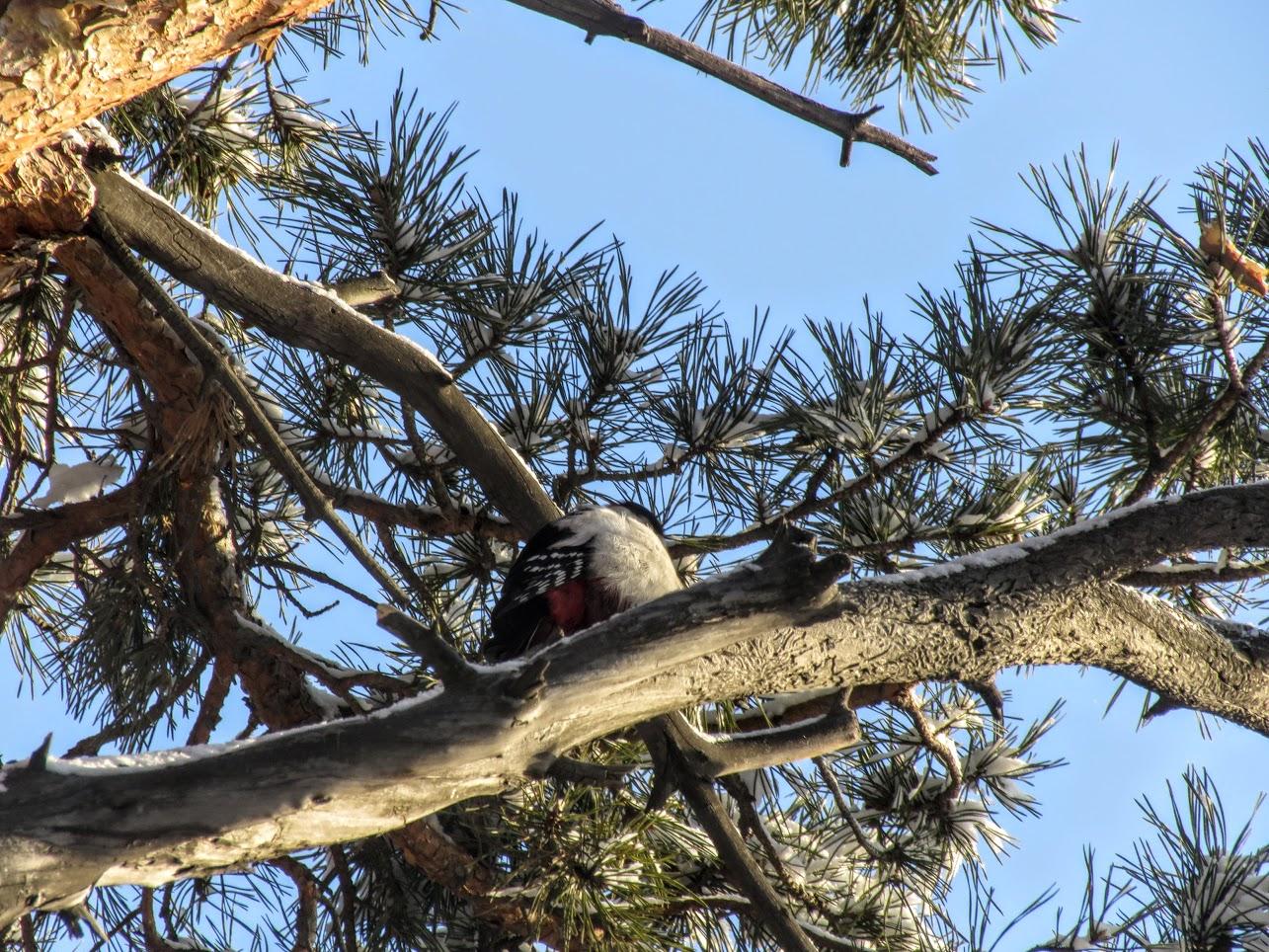 Птички - невелички - ополовники и большой пёстрый дятел IMG 9686