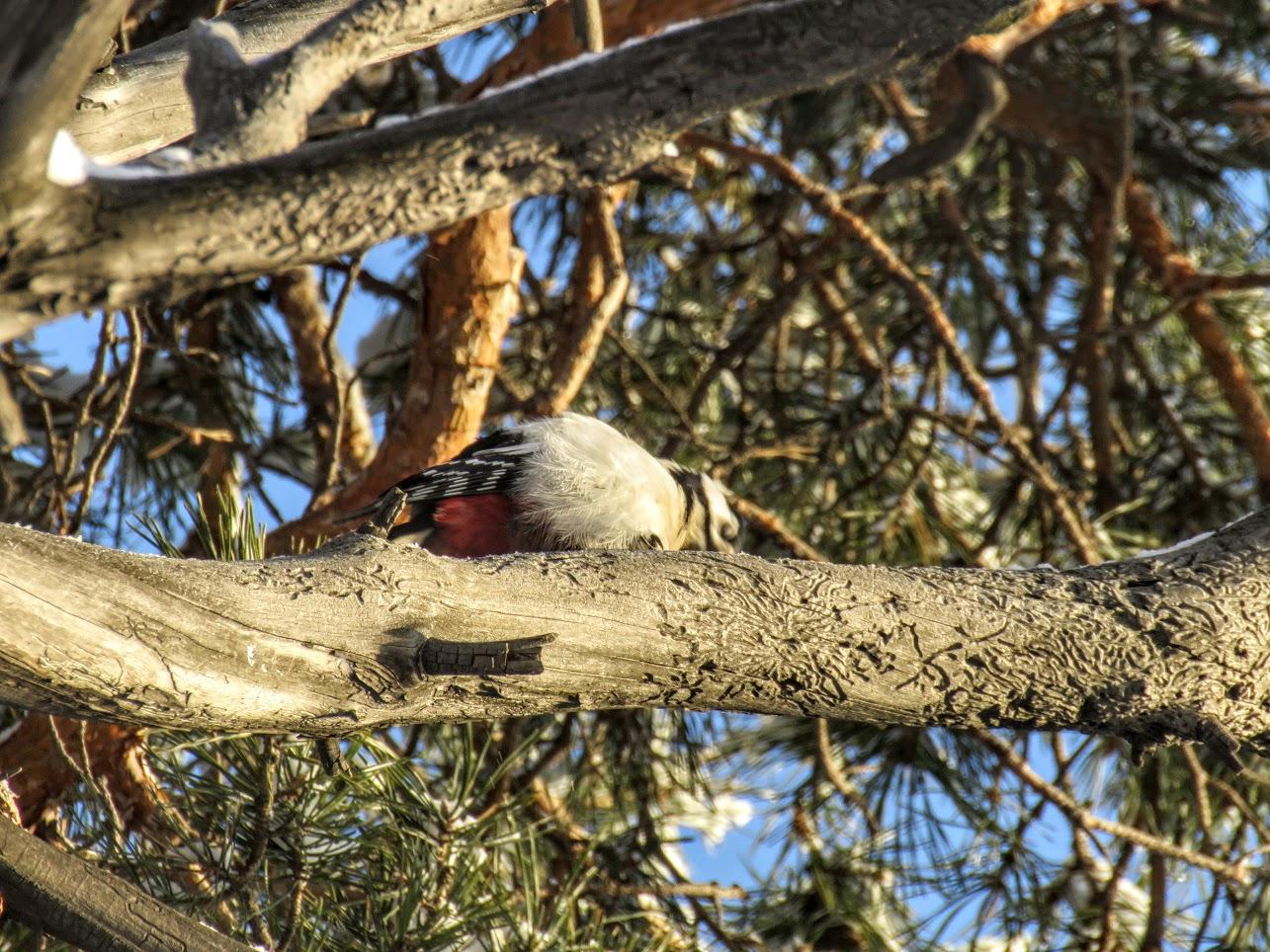 Птички - невелички - ополовники и большой пёстрый дятел IMG 9694