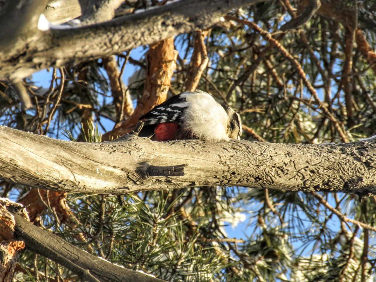 Птички - невелички - ополовники и большой пёстрый дятел IMG 9695