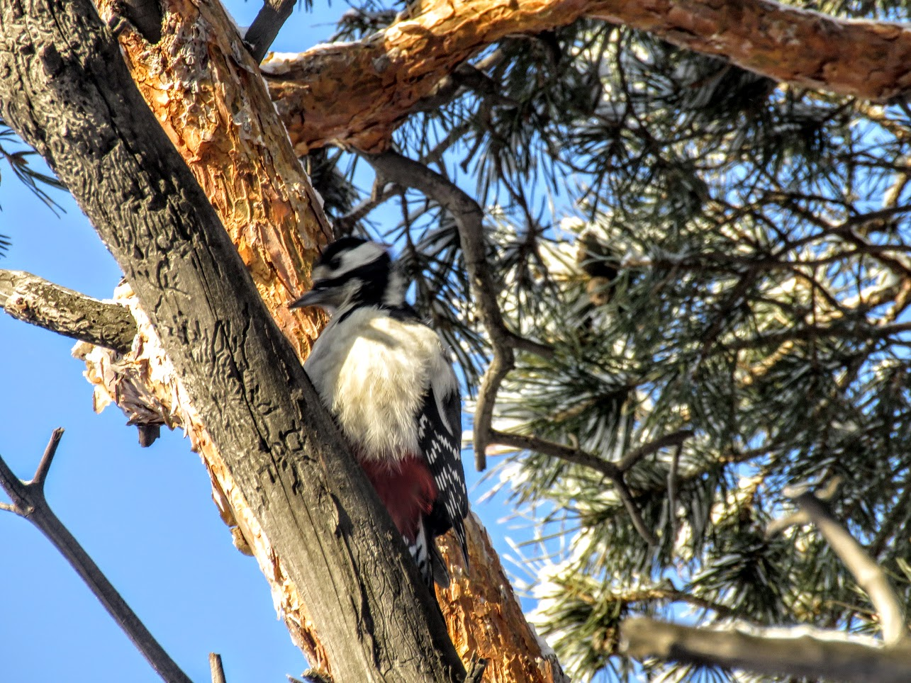Птички - невелички - ополовники и большой пёстрый дятел IMG 9697