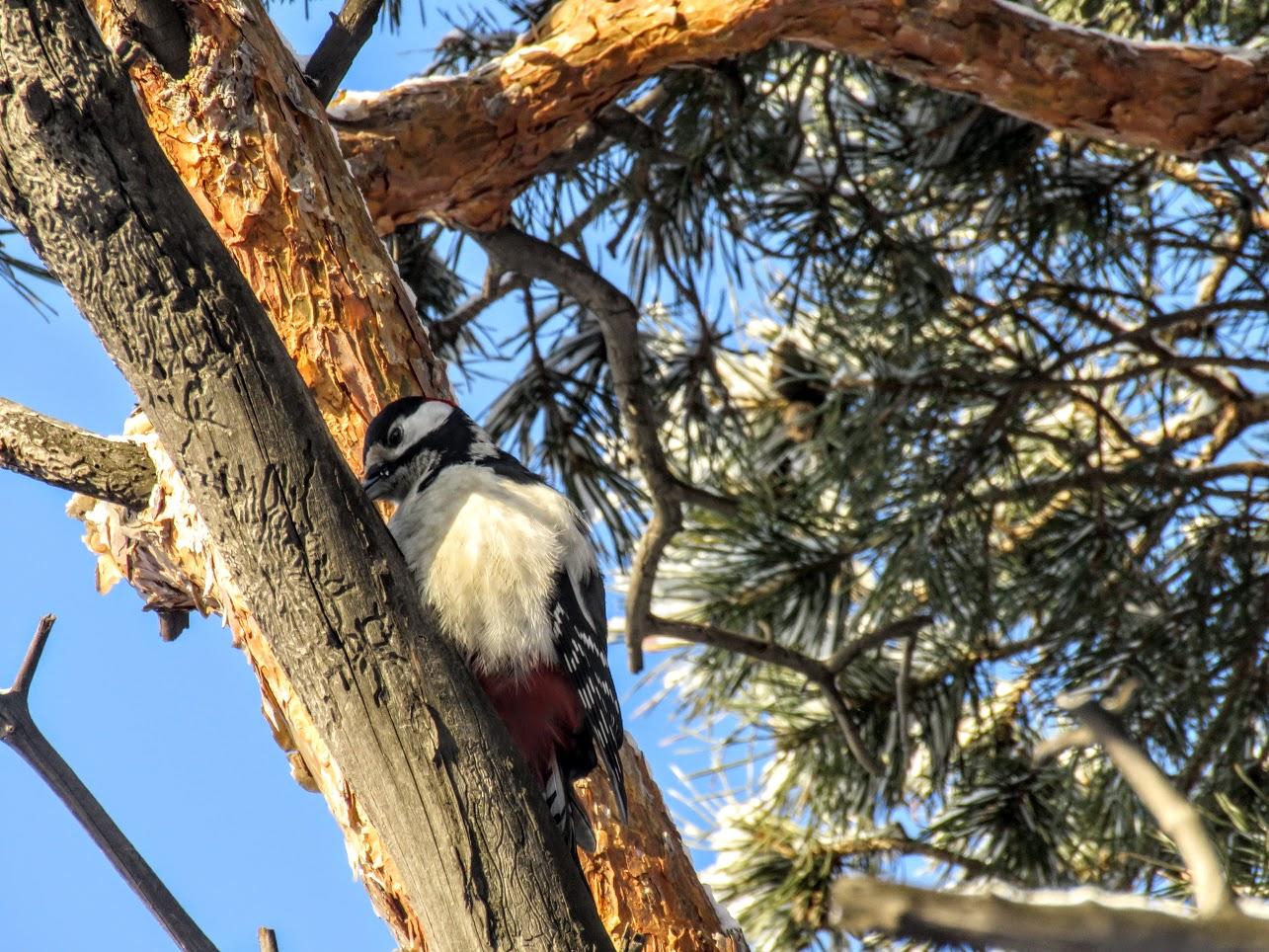Птички - невелички - ополовники и большой пёстрый дятел IMG 9698