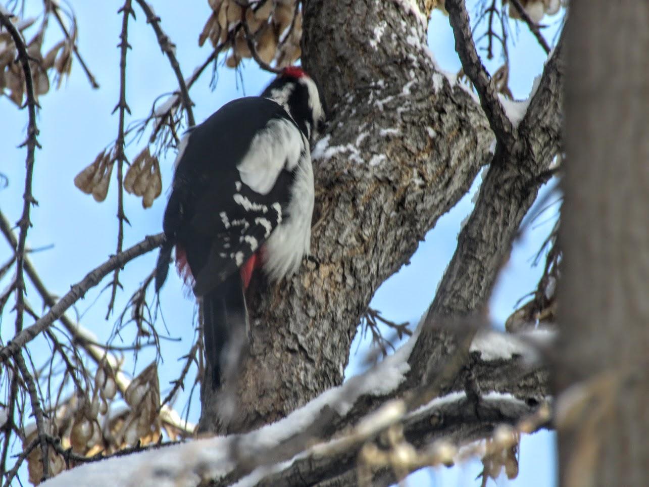 Птички - невелички - ополовники и большой пёстрый дятел IMG 9715