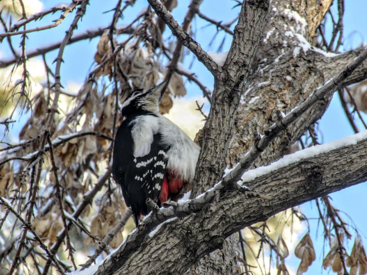 Птички - невелички - ополовники и большой пёстрый дятел IMG 9722