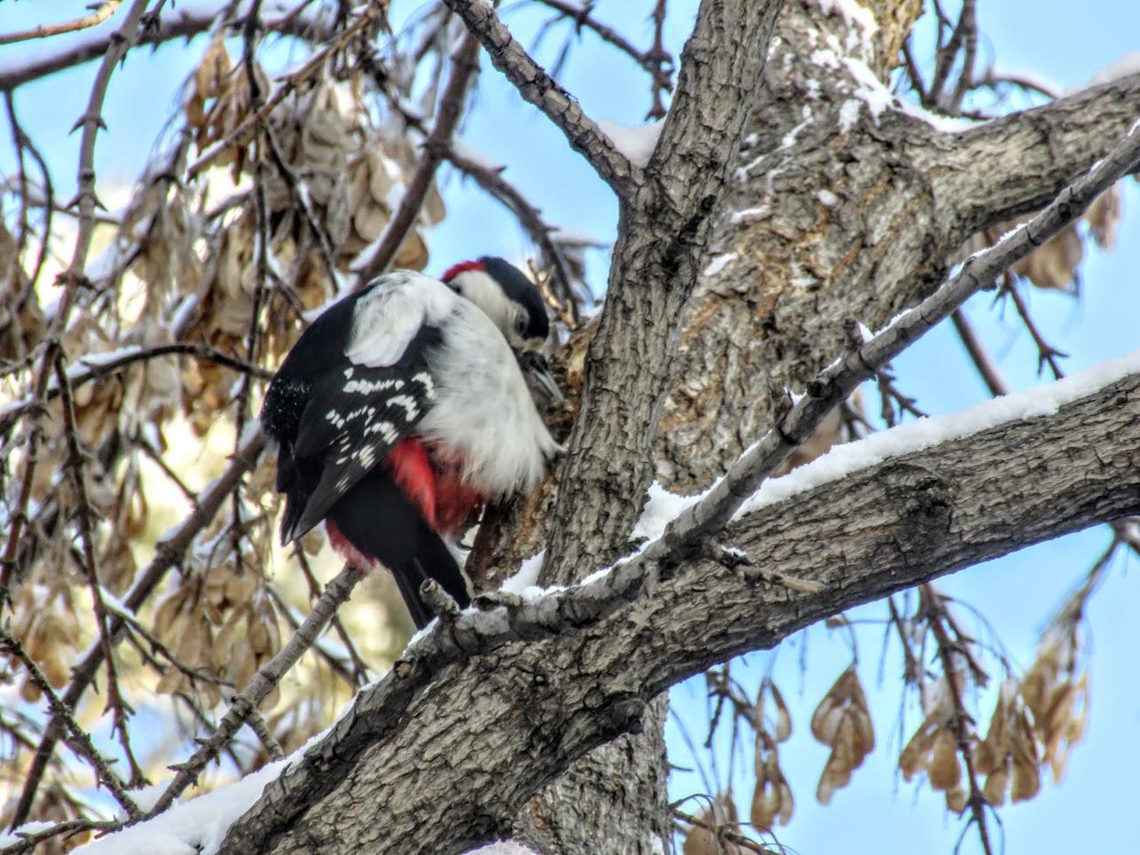 Птички - невелички - ополовники и большой пёстрый дятел IMG 9727