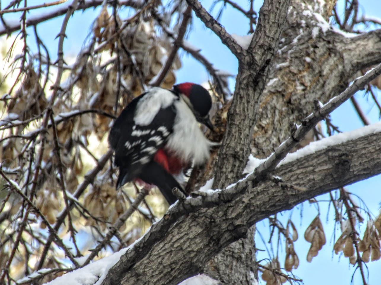 Птички - невелички - ополовники и большой пёстрый дятел IMG 9728