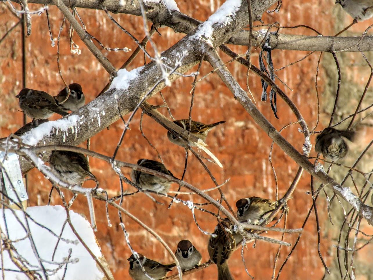 Птички - невелички - ополовники и большой пёстрый дятел IMG 9739