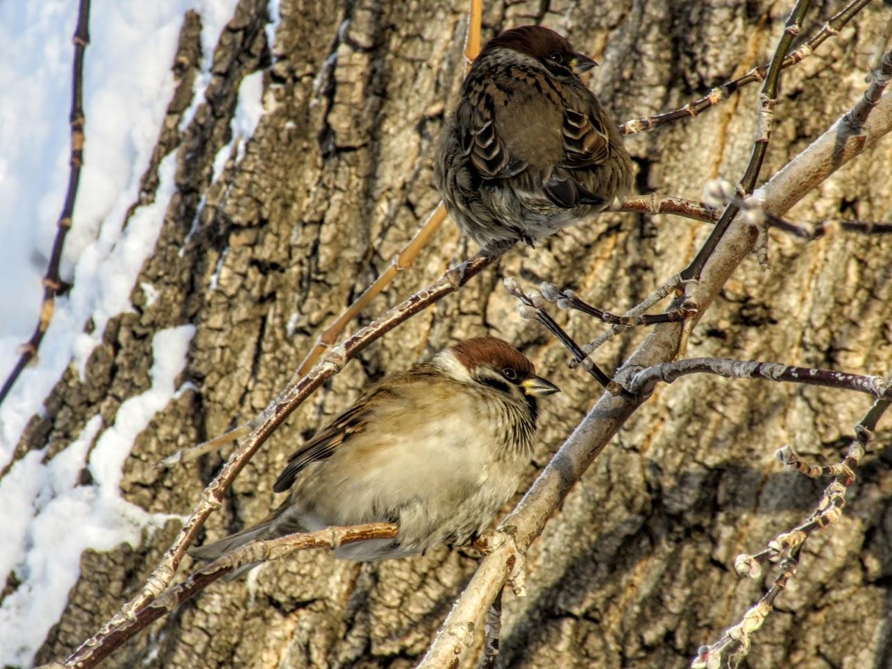 Птички - невелички - ополовники и большой пёстрый дятел IMG 9742