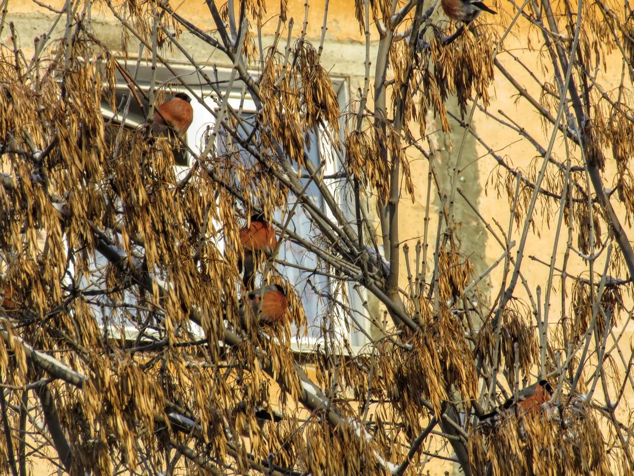 Птички - невелички - ополовники и большой пёстрый дятел IMG 9743
