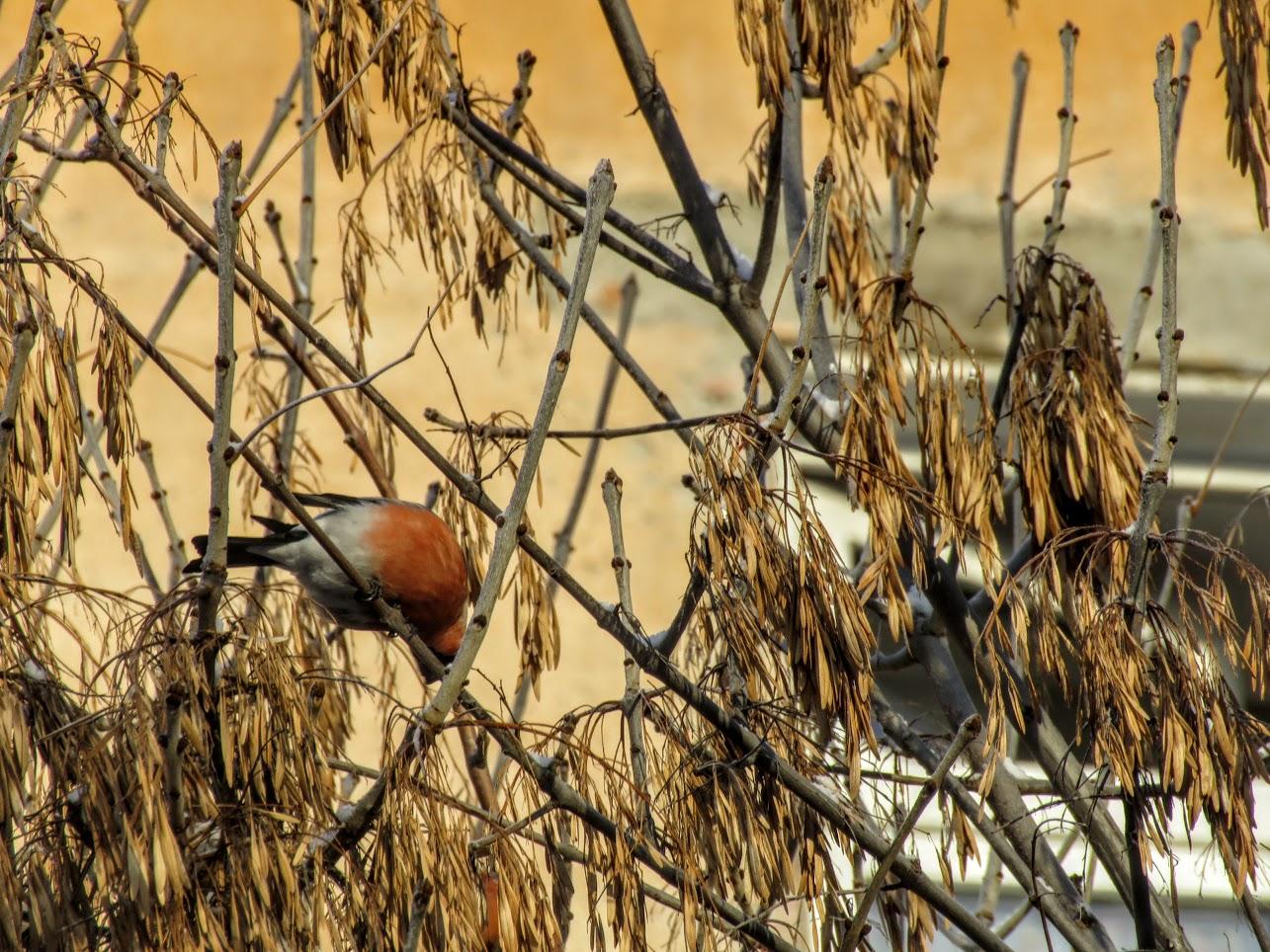 Птички - невелички - ополовники и большой пёстрый дятел IMG 9744