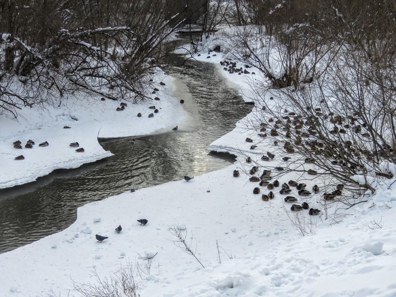 Хохлатые свиристели и Искитимка оттаяла, много воды и о погоде IMG 0771