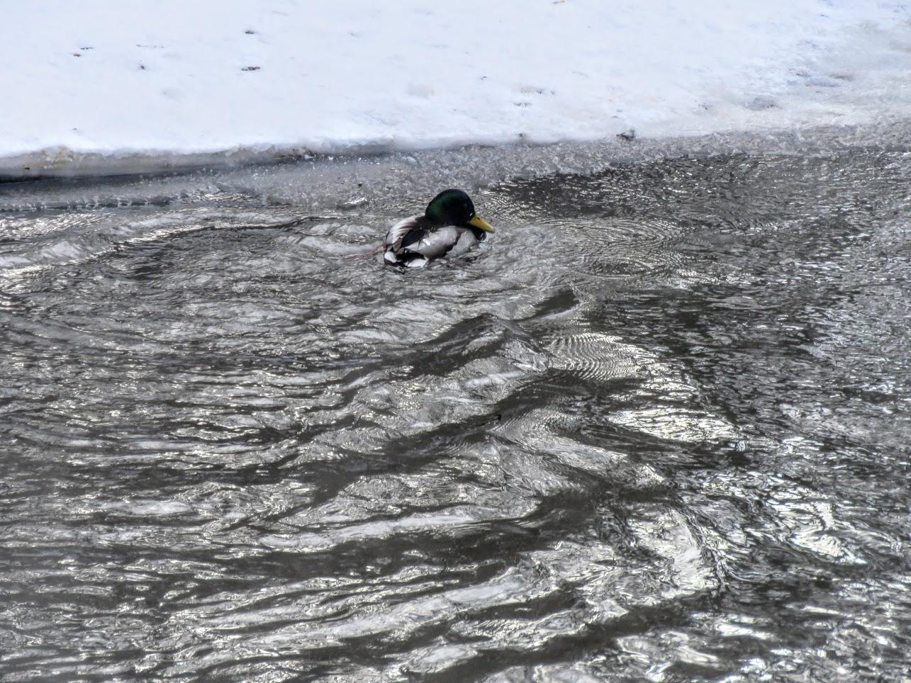 Хохлатые свиристели и Искитимка оттаяла, много воды и о погоде IMG 0774