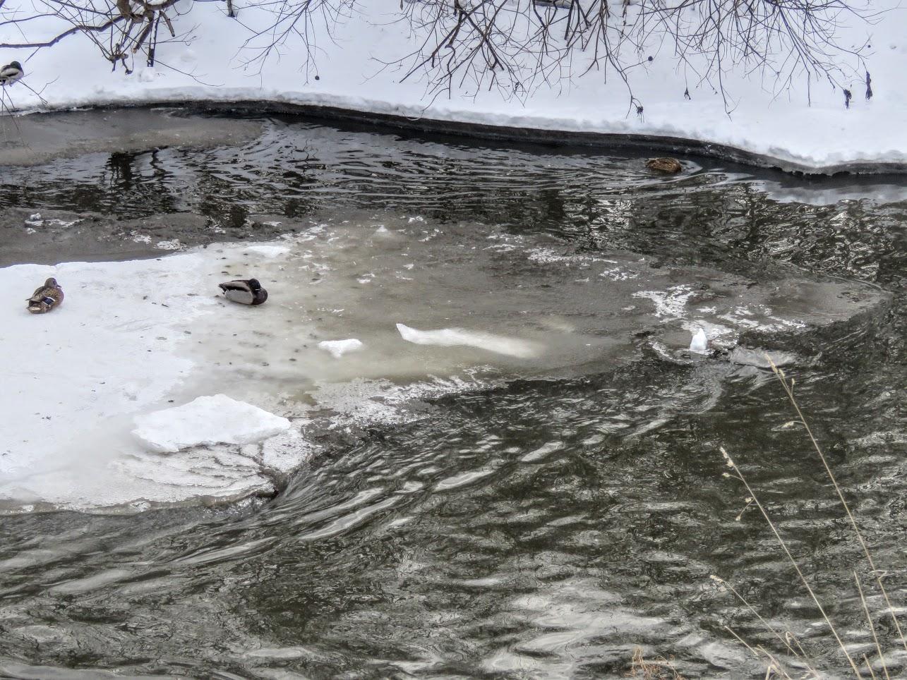 Хохлатые свиристели и Искитимка оттаяла, много воды и о погоде IMG 0780